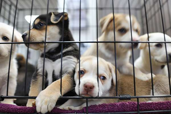 Five puppies in a kennel